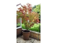 Large Acer tree in pot