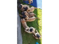 Bull Mastiff Puppies For Sale
