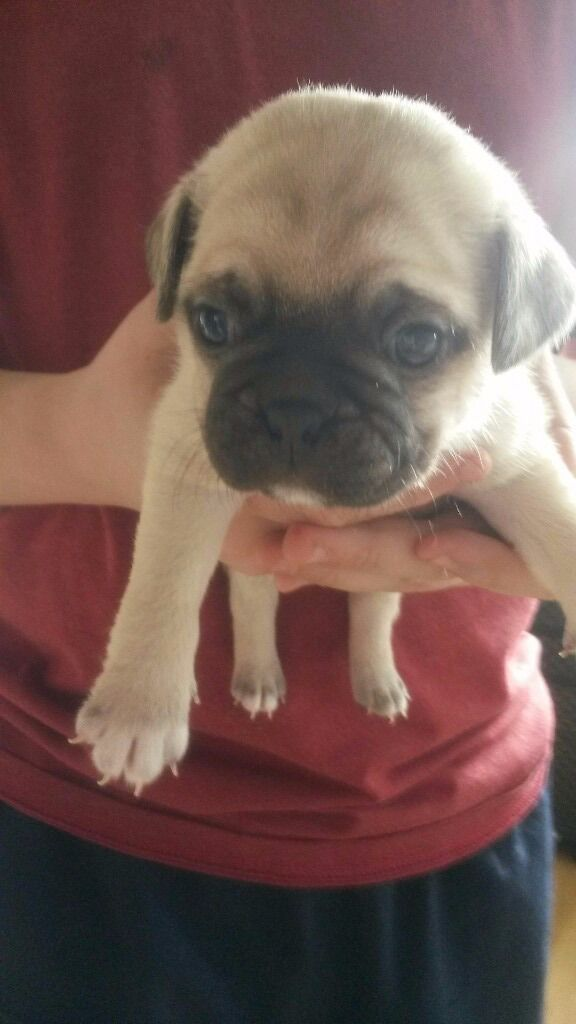 Pug X Boston Terrier Pups Puppies For Sale Bugs In Rothwell