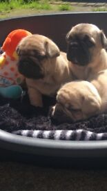 **Stunning French bulldog puppies for sale**