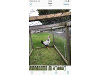 10weeks Rooster