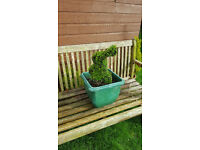 Lovely rabbit topiary in pot £20