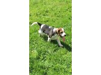 KC registered beagle pup for sale