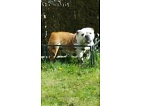 Red/white female bulldog
