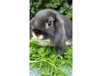 Baby Dwarf Lop/Lionlop Bunnies for Sale