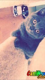 British Shorthair GCCF REG Kitten GIRL