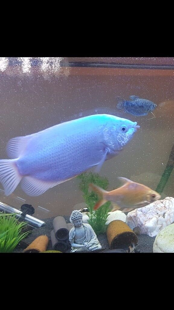 Tropical fish kissing gourami in trafford manchester for Kissing gourami fish