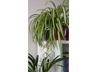 Houseplants - Indoor plants - Air-purifying - Large Spider Plant - Chlorophytum