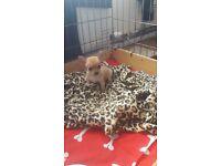 chihuahua baby