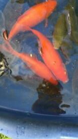 Goldfish 5-8 inch