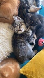 3 Kittens for sale - 2F 1M