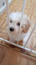 Cavachon puppy (bichion cross cavalier)