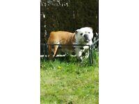 British female bulldog red/white