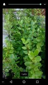Gresilinia hedging plants