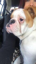 English Bulldog for Sale to a good home!!!