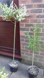 2 X GARDEN TREES SALIX - If reading this they will still be for sale