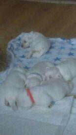 White schnauzer pups