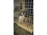 3 Degus looking urgently for a new home