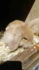 Mini lion lop baby rabbit