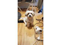 Terrier mix