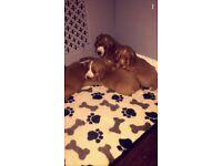 gorgeous cocker spaniels puppies
