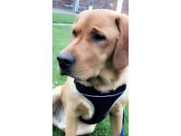11month old red fox male labrador