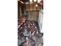 15 pol chickens
