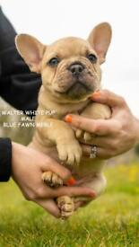 3 stunning french bulldog puppies for sale
