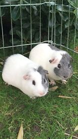 Cute pair of Guinea pig boys