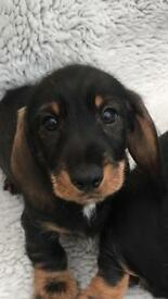 Dachshund puppies females only