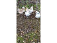 Columbian Wyandotte Bantam pullets for sale Chicken