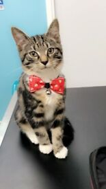 Kitten Cat - VACCINATION DONE FLEAD & WORMED