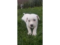 Puppies, Bulski Puppies forsale