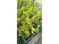Graslina hedging garden. Build