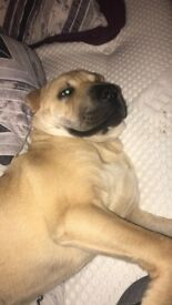 5 and half month old SharPei for sale