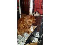 Cavalier King Charles Spaniel Pups