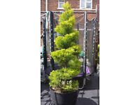 Topiary spiral Goldcrest tree. Garden plants flowers shruds ornaments furniture table chairs hot tub