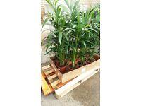 For sale indoor kentia palm plant x 8pcs