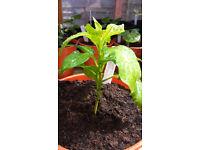 Chilli Pepper - Scotch Bonnet - Live young plant