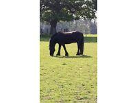 Fell pony for share 13.2 gelding