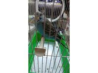 2 budgies with Brand New Cage