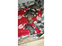 6 alaskan malamute puppies for sale