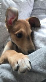 Lurcher puppy for rehoming