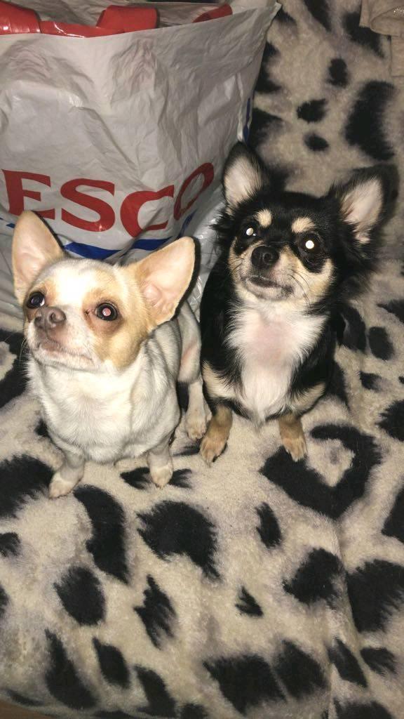 Beautiful Chihuahua Puppys Ready 20/1/18