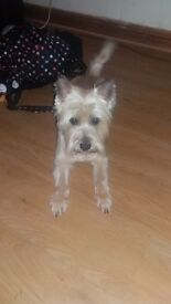 2yr old Cairn Terrier. Full pedigree. Needs a new loving home due to change of circumstances.