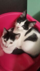2 kittens free to good home 12 week old, they do need injections thats why they are free.