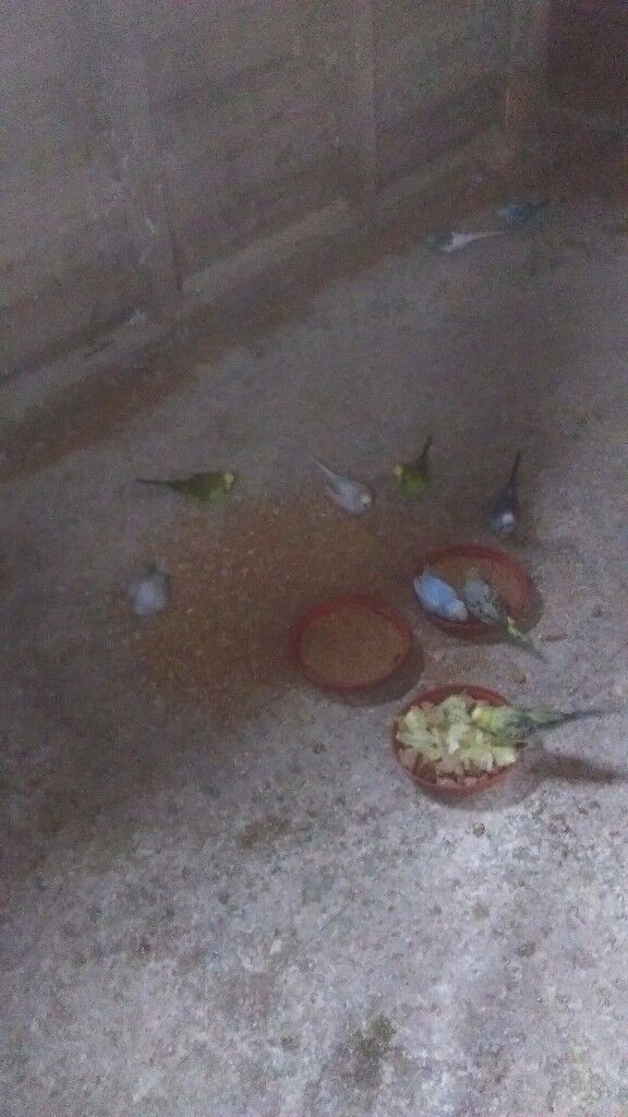 Two budgies for sale whith cage and stand