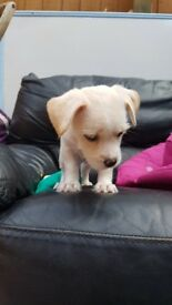 8 week old lhasa apso x £275ono