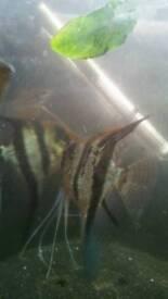 Anglefish aquarium