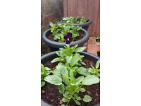 Hanging baskets and pots with winter flowering pansys plants